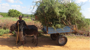 A donkey cart in Mazvihwa heaped with Acacia for brushwood fencing: a skillfully loaded cart can carry more than 50 branches weighing nearly 100kg.