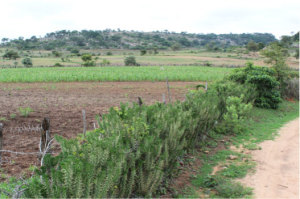 A particular effective live fence using an exotic spiny plant protecting a field in Murowa in 2010.