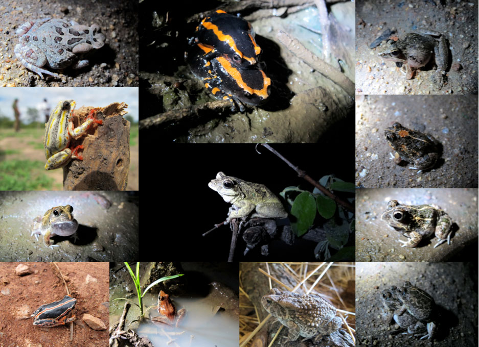 Frog and Toad Species from anthropogenic wetlands in Mudhomori Village, Mazvihwa; photos by Brock Dolman, identifications by species by Dr Rob Hopkins.   Top Row (left to right): 1. Amietophrynus garmini, (Garmin's toad-or eastern olive toad); No 2  Prynomantis bifasciatis (Banded rubber frog); No 3 Ptychedena anchieta (Plain Grass frog)  Second Row (left to right):  No 4 Hyperolius swynnertoni, (Swynerrton's reed frog): No 5.Chiromantis xerampelena (Southern foam nest frog); No 6 Tomopterna cryptosis, (Tremelo sand frog) Third Row (left to right):  No 7 Amietia quicketi (Common river frog); No 8 Tremelo cryptosis (note the colour and marking variation);  Bottom Row (left to right): No 9 Hyperolius swynnertoni, (Broadley's form –note the colour variation- this may soon be re-classified as a good species) this photo taken not in Mazvihwa but in Chikukwa Chimanimani; No 10 Ptychedena anchieta (Plain Grass frog); No 11 and 12 Amietophrynus guttaralis (Guttural Toad)