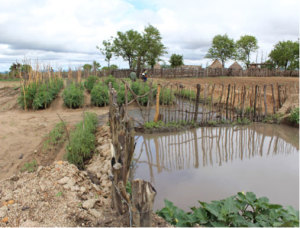 A run-off filled pond with flourishing early season tomatoes in Muringi Village.
