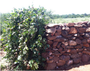 Mopane hedge meets basalt stone wall in the Mudhomori field are of Mazvihwa.